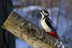 Woodpecker in the sun Stock Images