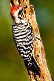 Woodpecker suportado escada Fotos de Stock