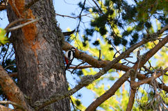 Woodpecker on a three Stock Photography