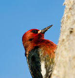 Woodpecker on a tree Stock Photography