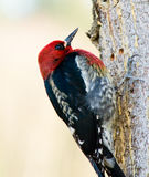 Woodpecker on a tree Royalty Free Stock Photography