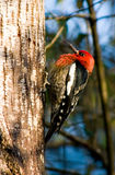 Woodpecker on a tree Royalty Free Stock Image