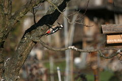 Woodpecker tree Stock Photos