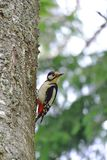 Woodpecker in a tree Stock Image