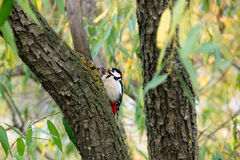 Woodpecker on a tree. Beautiful woodpecker on a tree between branches Stock Photos