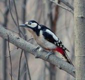 Woodpecker on the tree Stock Photos