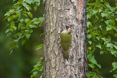 Woodpecker on a tree Stock Photo