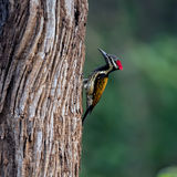 Woodpecker in tree of Indian forest. Red headed woodpecker on tree trunk in sunny Indian forest stock images