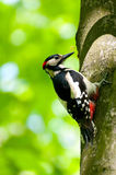 Woodpecker on a tree. Looking for food Royalty Free Stock Image