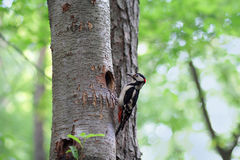 Woodpecker on a tree near his nest Stock Image