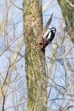 Woodpecker on a tree Stock Image