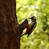 Woodpecker Royalty Free Stock Image
