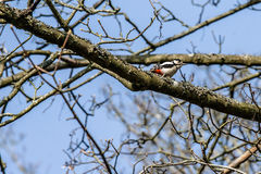 Woodpecker in a tree at springtime Royalty Free Stock Photography