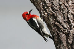 Woodpecker On A Tree Trunk Royalty Free Stock Photography