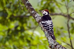 Woodpecker on a tree trunk Stock Images