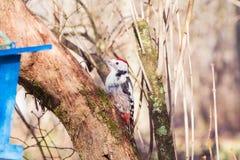 Woodpecker on the tree trunk (Dendrocopos major). Redhead Woodpecker on the tree trunk (Dendrocopos major Stock Photo
