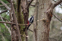 Woodpecker in the trees Stock Photography
