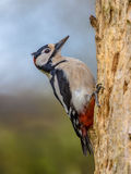 Woodpecker in typical position Royalty Free Stock Images