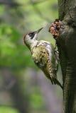 Woodpecker verde Imagens de Stock