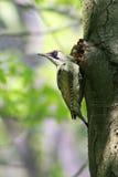 Woodpecker verde fotografia de stock