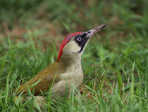 Woodpecker verde (viridis do Picus) foto de stock royalty free