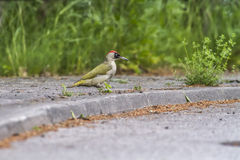 Woodpecker verde (viridis do Picus) Foto de Stock Royalty Free