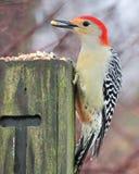 Woodpecker Vermelho-inchado Imagem de Stock