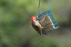 Woodpecker Vermelho-Inchado Fotos de Stock Royalty Free