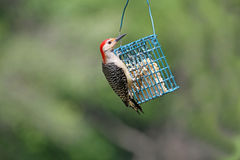 woodpecker Vermelho-inchado Imagens de Stock
