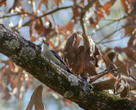 Woodpecker Vermelho-inchado Fotos de Stock