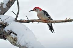 Woodpecker Vermelho-inchado foto de stock