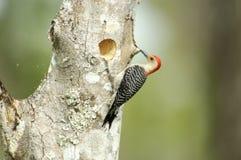 Woodpecker Vermelho-inchado (carolinus do Melanerpes) Foto de Stock
