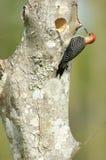 Woodpecker Vermelho-inchado (carolinus do Melanerpes) Fotografia de Stock