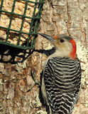 Woodpecker Vermelho-inchado no alimentador do Suet Foto de Stock Royalty Free