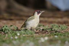 Зеленый woodpecker, viridis Picus Стоковые Фото