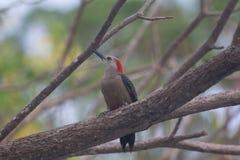 Woodpecker waiting Stock Photography