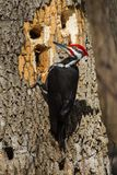 Large Woodpecker hard at work trying to find food. royalty free stock photography