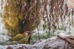 Woodpecker in winter. And garden stock photography