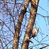 Woodpecker Royalty Free Stock Photography