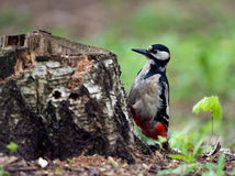 Woodpecker Stock Image
