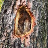 Woodpecker at Work. Nice size hole put in this tree trunk by a woodpecker Stock Photo