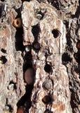 Woodpecker& x27; s Eikels in Pijnboomschors die worden opgeslagen Stock Foto