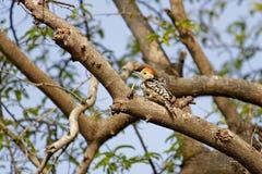 Woodpecker. Yellow-Crowned woodpecker on tree, shot at yashwant sagar near indore Royalty Free Stock Photos
