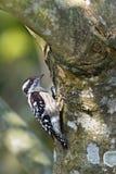 woodpeckerbird enano Brown-capsulado en Nepal Imagen de archivo libre de regalías