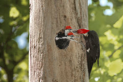 woodpeckers младенца голодные Стоковые Фотографии RF