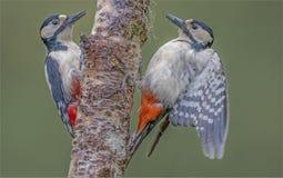 Woodpeckers пары на дереве в лесе Стоковое Фото