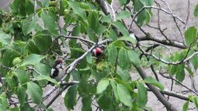woodpeckers Imágenes de archivo libres de regalías