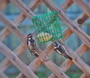 woodpeckers fotos de stock royalty free