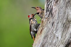 Woodpeckers building a nest Royalty Free Stock Photos