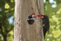 Woodpeckers com fome do bebê Fotos de Stock Royalty Free